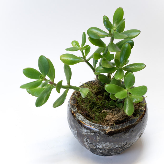 Money plant in a bespoke ceramic pot in a white background