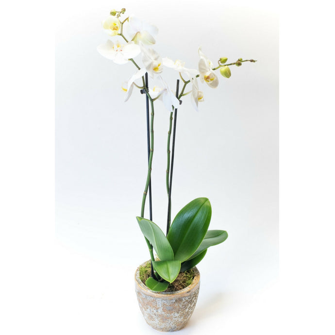 Moth Orchid or a White Phalaenopsis in a ceramic pot