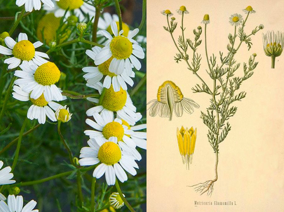Companion Botanical Closeup: German (aka Blue) Chamomile