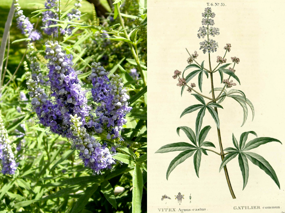 Companion Botanical Closeup: Chasteberry or Vitex agnus-castus