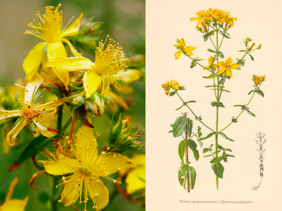 Companion Botanical Closeup: Saint John's Wort