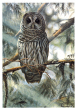In the Cedars - Barred Owl
