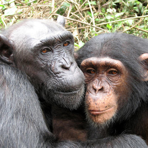Give a gift that matters: a donation in your friend's name. This gift will provide three days worth of bananas for the chimpanzees at Sanaga-Yong Chimpanzee Res
