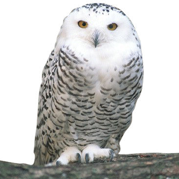 Give a gift that matters: a donation in your friend's name. We must have everyone's support to stop Congress from handing the home of snowy owls and other wildl