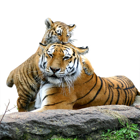 Give a gift that matters: a donation in your friend's name. Your gift to Adopt A Tiger today will help to battle the many threats -- including illegal logging a