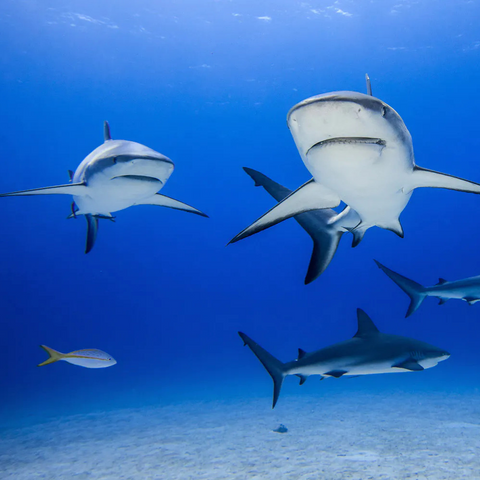 Protect the Sharks and Rays