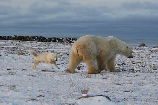 Sentinel dog challenges polar bear at Mile 5, Churchill