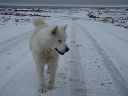 Inuit Sled Dog, Churchill, Manitoba, photo by Caleb Ross