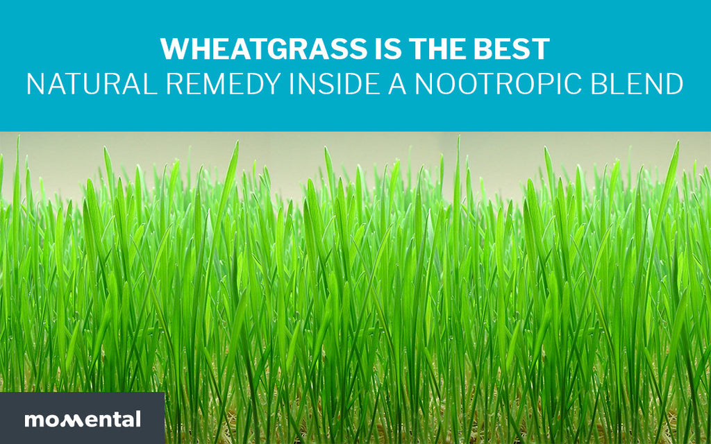 Wheatgrass is the Best Natural Remedy Inside a Nootropic Blend | Momental