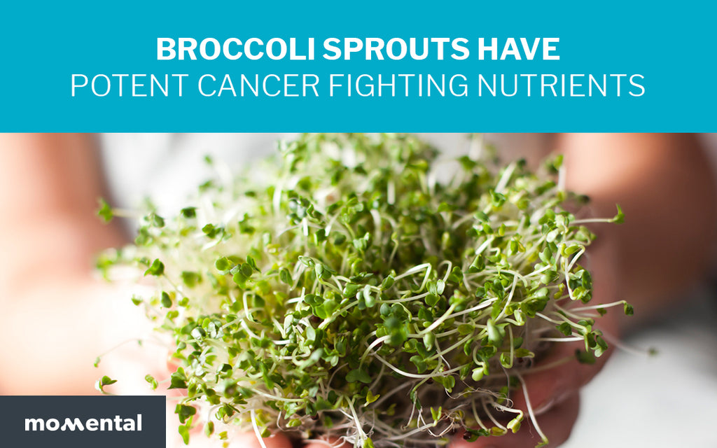 Broccoli Sprouts Have Potent Cancer Fighting Nutrients | Momental Nootropics