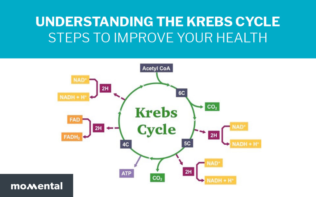 Understanding the Krebs Cycle Steps to Improve Your Health | Momental