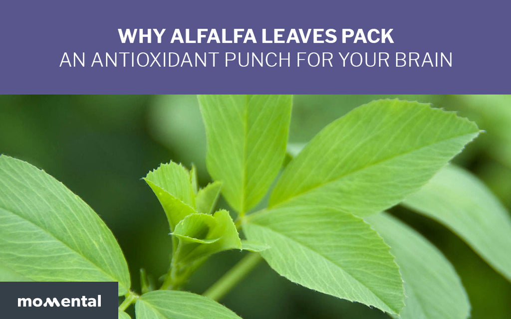 Why Alfalfa Leaves Pack an Antioxidant Punch for Your Brain | Momental Nootropics