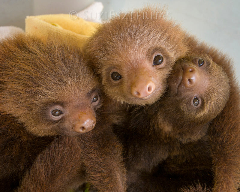 SNUGGLE OF BABY SLOTHS PHOTO PRINT