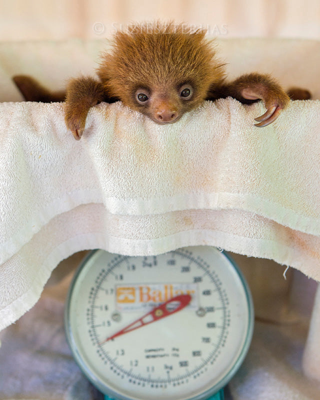BABY SLOTH BEING WEIGHED PHOTO PRINT