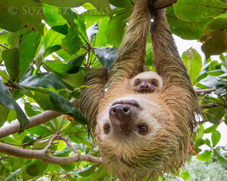 MOMMA AND BABY TWO-FINGERED SLOTH PHOTO PRINT