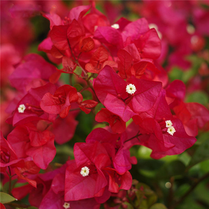 50 Particle/Bag Mix Color Bougainvillea Balcony Pot, Yard Flower Plant Immensely Showy