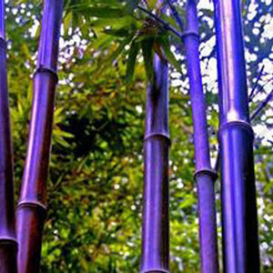Rare Purple Timor Bamboo Seeds Bambusa Black Bamboo Seeds Planted Courtyard