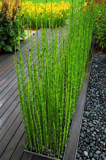 50 Bamboo Seeds Rare Mini Black Moso Bamboo Seeds Pack Tree Seeds