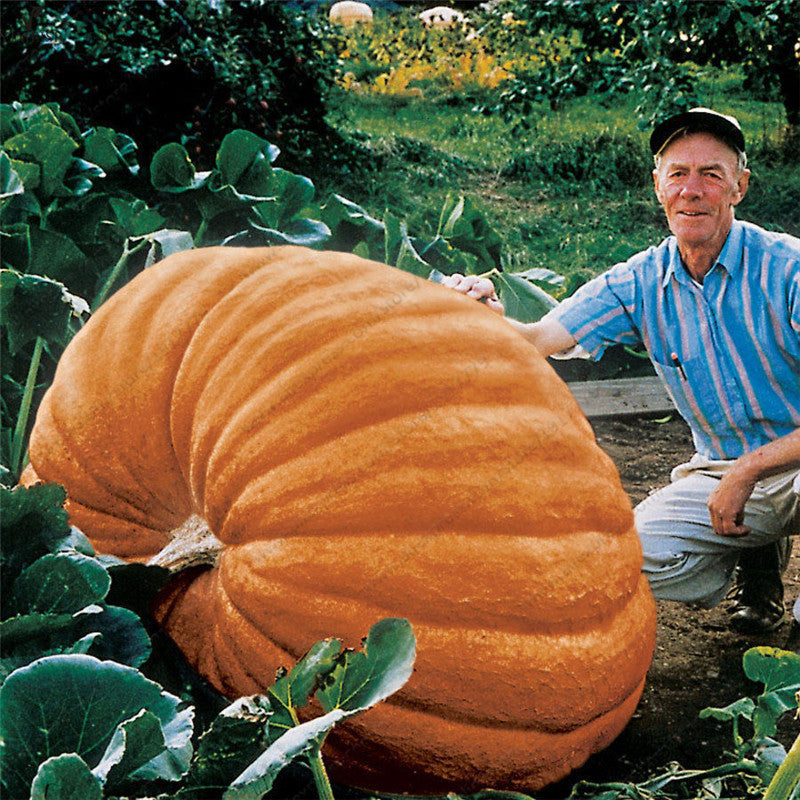 True Giant pumpkin seeds,big Squash-ornamental gourds seeds,bonsai organic fruit vegetable