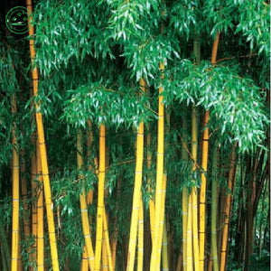 Bamboo seeds 100pcs set bamboo seeds for DIY home garden tree seeds
