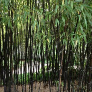 Black Bamboo Seeds Phyllostachys Nigra Seeds Garden Decoration Plant Black Culmed Rough Bamboo - Seeds 100pcs