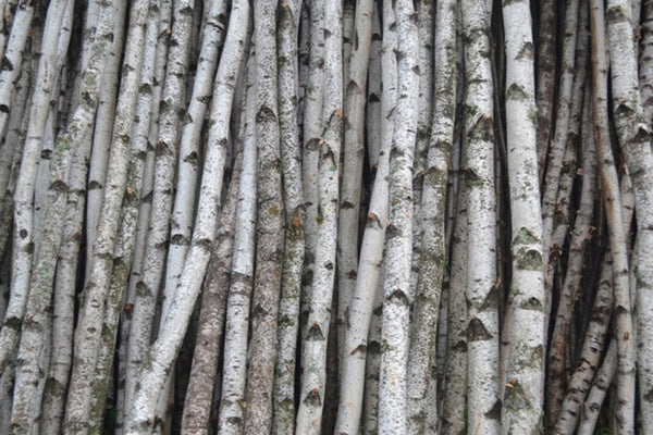 Real Birch Trees For Decorating  from cdn.shopify.com