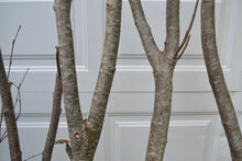 Alder Forked Limbs  5-   5' to 6' Tall