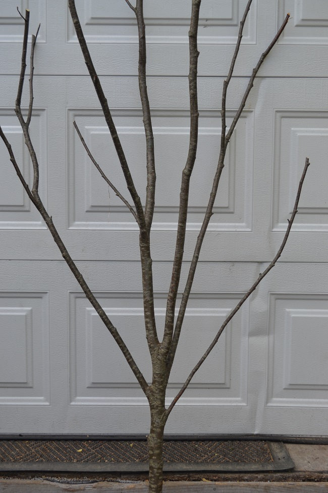 Alder  Multi Forked Limbs  5' to 6' Tall