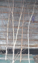 Birch Trees 7 1/2 ft to 9 ft   Bundle of Two