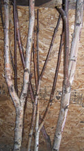 Birch Forked Limbs <p> 5-  6 ' to 8'