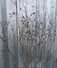 Alder Forked Branches with Cones<p>Two 3' to 4ft Tall