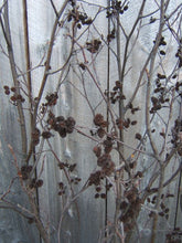 Alder Forked Branches with Cones  Two 5' to 6ft Tall