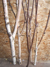 Birch Forked Limbs   <p> 5-  3' to 4' tall