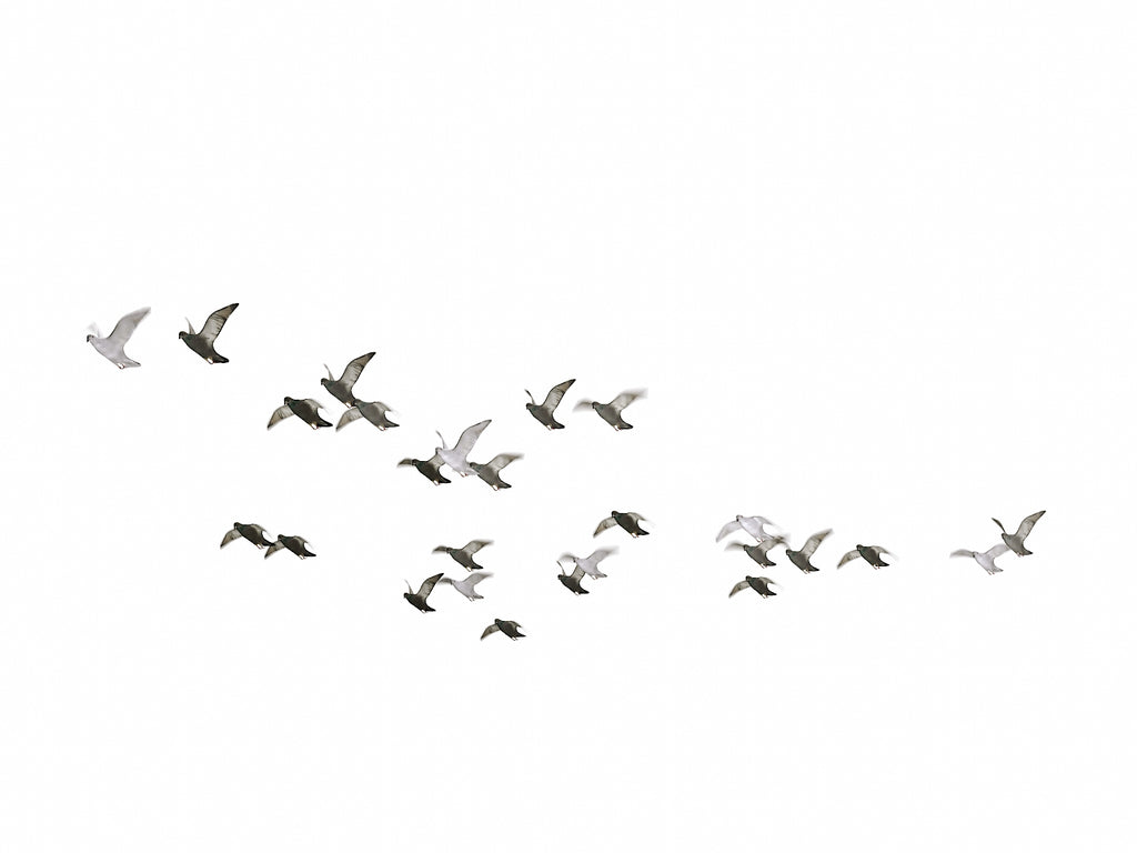 Animated Flying Pigeons Set - Nouvelle Mesure Lab