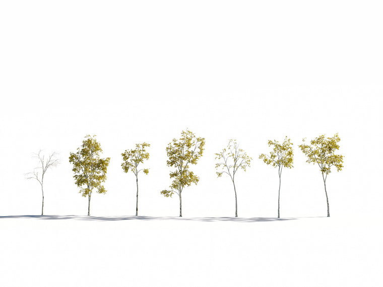 Birch Trees Set