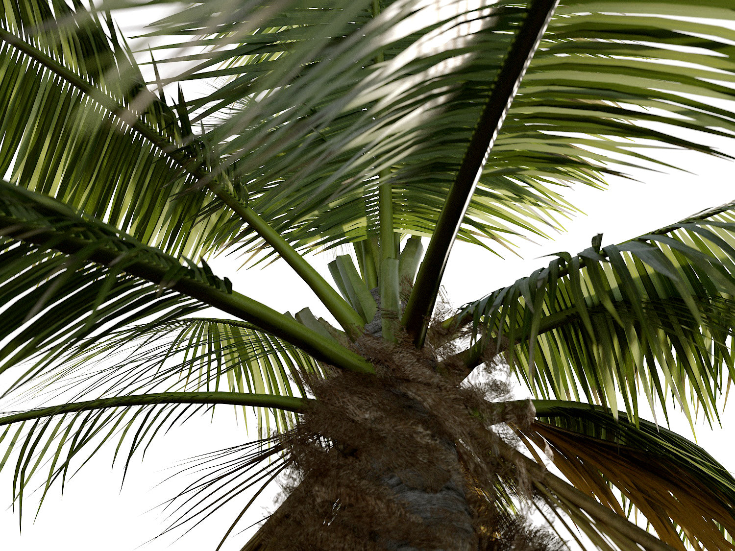 Coconut Tree Set - Nouvelle Mesure Lab