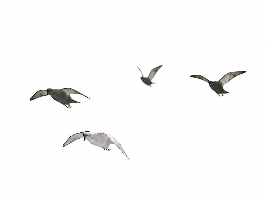 Flying Pigeons Set - Nouvelle Mesure Lab