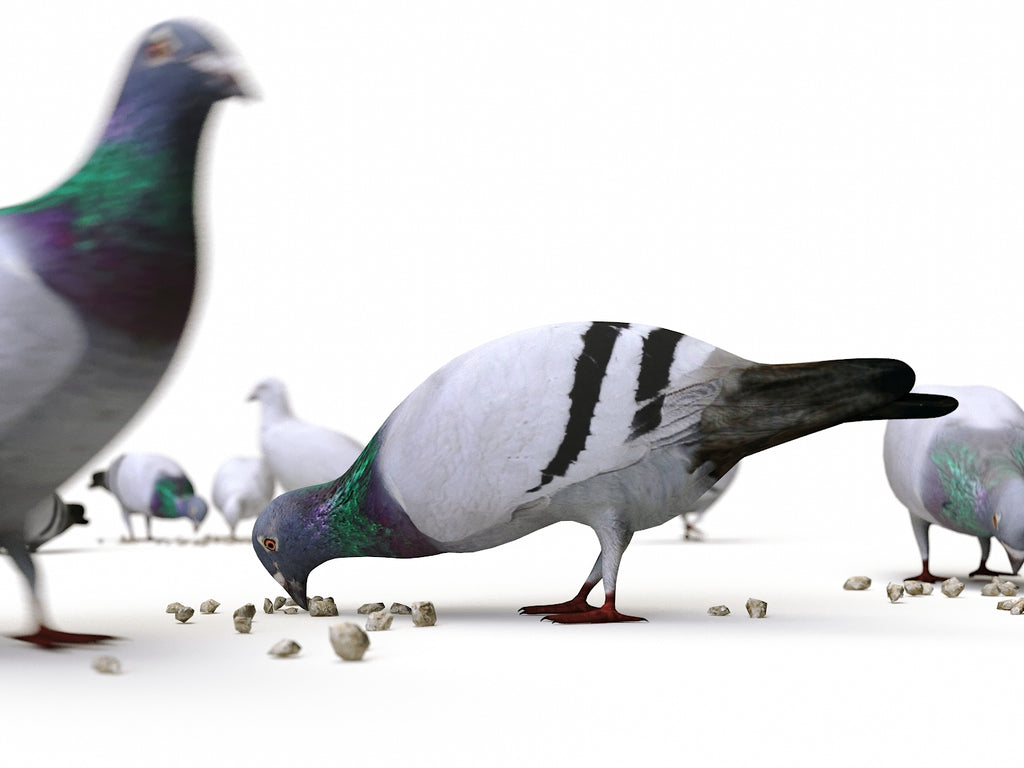 Animated Ground Pigeons Set - Nouvelle Mesure Lab