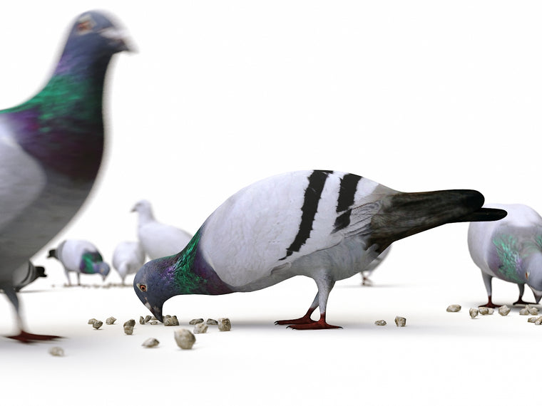 Animated Ground Pigeons Set