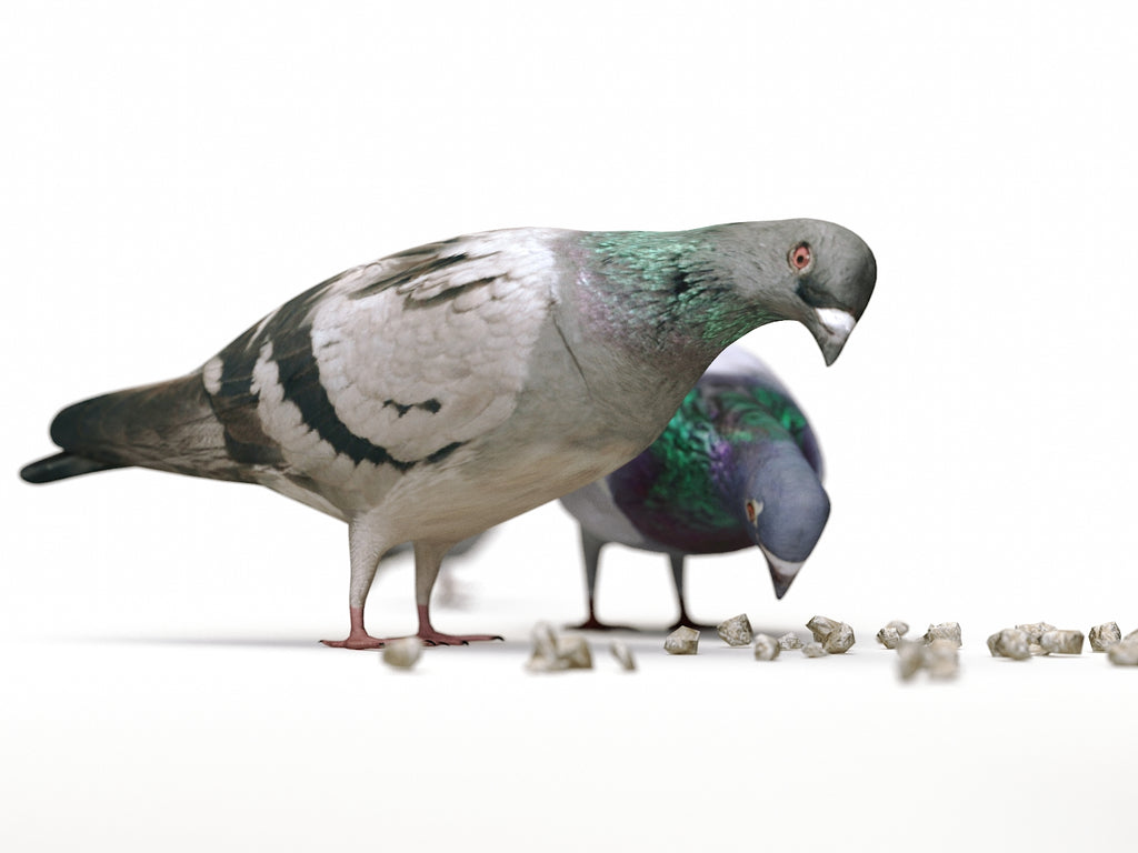 Ground Pigeons Set - Nouvelle Mesure Lab