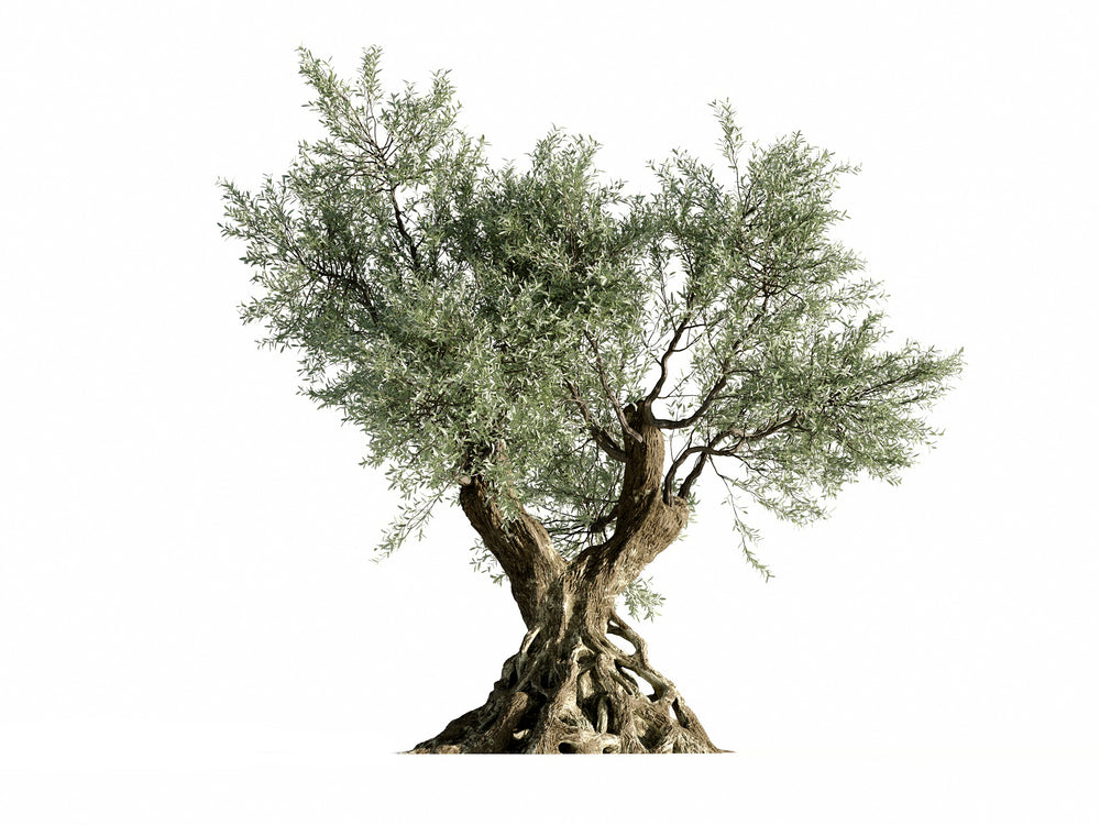 Olive Tree - Nouvelle Mesure Lab