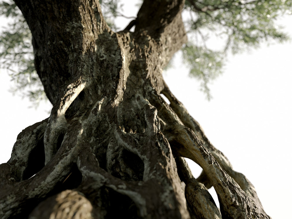 Load image into Gallery viewer, Olive Tree - Nouvelle Mesure Lab