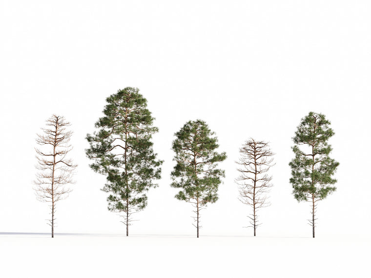 Salzmann Pine Tree Set