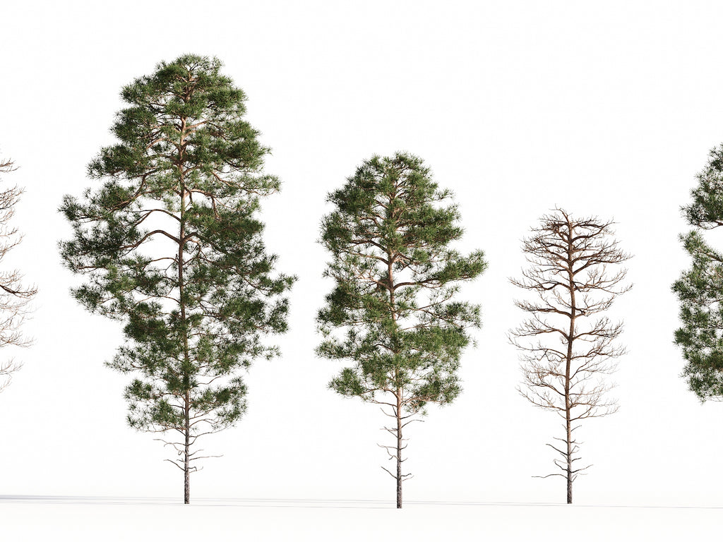 Salzmann Pine Tree Set - Nouvelle Mesure Lab
