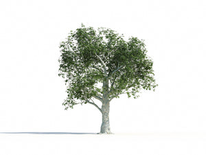 Load image into Gallery viewer, Big Platanus Tree - Nouvelle Mesure Lab