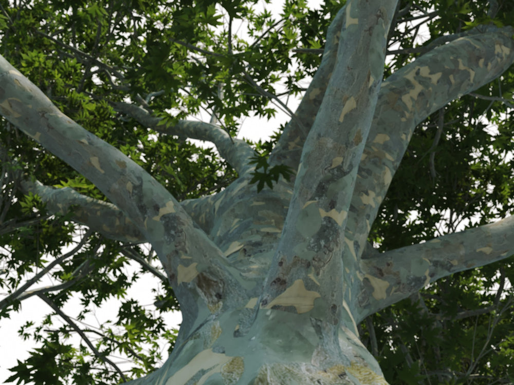 Big Platanus Tree - Nouvelle Mesure Lab