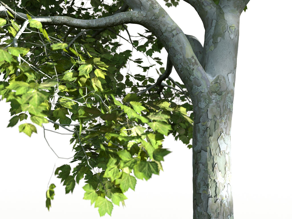Platanus Tree Set - Nouvelle Mesure Lab