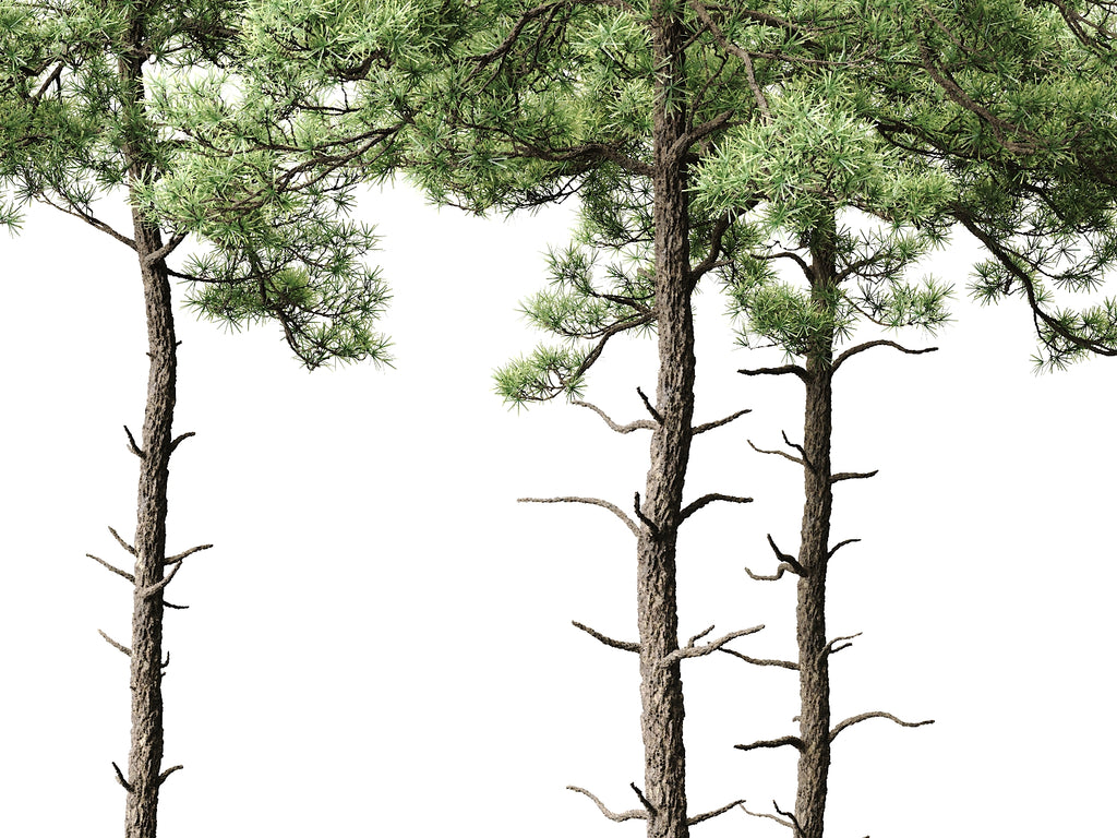 Scott Pine Trees Set