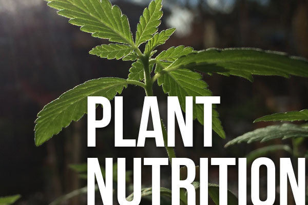 Cannabis plant growing with help from KleanTerpenes™ Plant Nutrition Products
