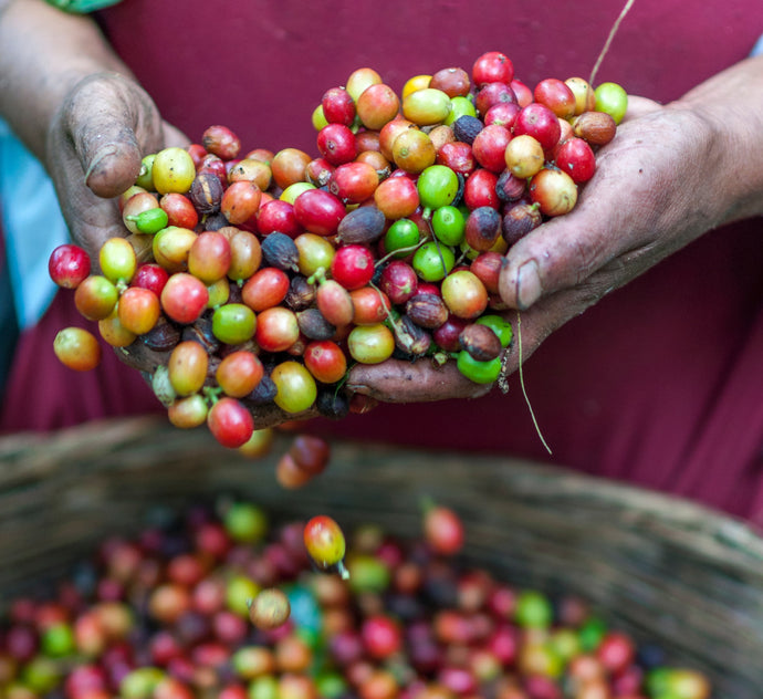 Coffee Processing: Washed or Wet-Process